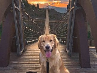Gimli the golden retriever celebrates SkyLift Park's dog-friendly announcement with a walk on the SkyBridge (photo courtesy of Gatlinburg's SkyLift Park)