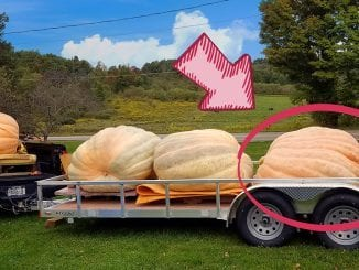 Andy Wolf's giant pumpkin begins its 900-mile journey to Dollywood (photo contributed by Andy Wolf)