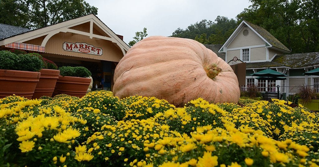 Wolf's 1507-lb pumpkin is the largest pumpkin on display at Dollywood's Harvest Festival (photo by Daniel Munson/TheSmokies.com)